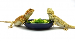 Salad Bowls, pair, Cobalt Blue & Vanilla