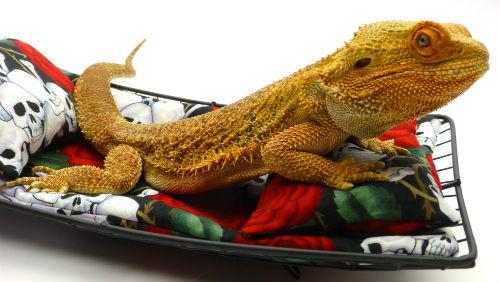 Carolina Designer Dragons Breeders - Carolina Designer Dragons