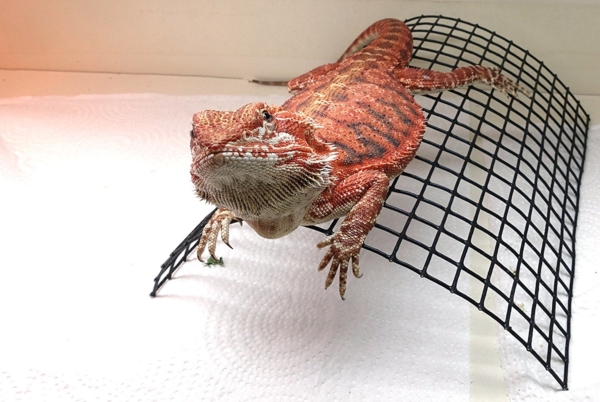 Bearded Dragon Tanning Arch, Reptile Habitat Accessory
