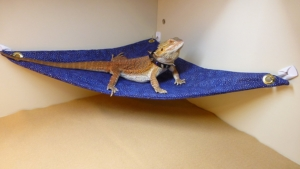 Hammock for Bearded Dragons, Blue Gold Metallic fabric with suction cup hooks